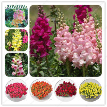 Antirrhinum Majus Seeds 100 Pcs Mixed Color Dwarf Common Snapdragon Flower Seeds Garden Home Bonsai Potted Plants So Beautiful(China)