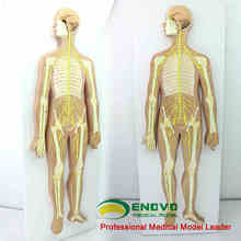 Anatomical model central nervous system neurosurgery