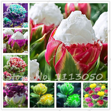 The Most Popula 50 Tulip Seed (not Tulip bulbs) Bonsai Flower Seed Ice Cream as Beautiful Tulips Rizomas Seed Aroma Potted Plant