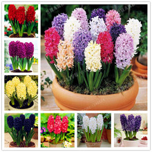 True Hyacinthus orientalis Seeds,Color Mixing Hyacinth Flower Hyacinth Flower Good Quality Easy To Grow Home Garden Plant-50 pcs