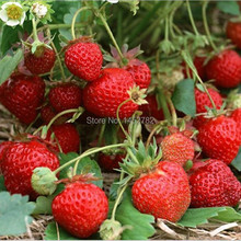 Vegetable Seeds Bonsai Strawberry Seeds Edible Strawberry Fruit Seeds Four Seasons Large Type DIY Home Garden