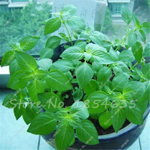 150 Pcs Aromatic Plant Seeds Perfume Mint Balcony Potted Herb Mint Seeds,Catnip Aromatic Plants Seeds DIY Home Garden Supplies(China)