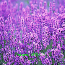 GGG 200 French Provence Lavender Seeds -- Very Fragrant free shipping(China)