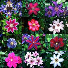 100pcs/bag Clematis Seeds Of Flowers Clematis Vines Plants Perennial Bonsai Flower Seeds 2017 Diy Climbing Plant For Home Garden(China)