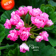 Loss Promotion!20 Pieces/Bag Deep Pink Univalve Geranium Seeds Perennial Flower Seeds Pelargonium Peltatum Seeds,#Y8Q89D