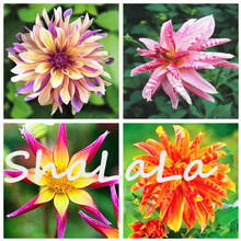 200 Pcs True Holland Dahlia Flower Seeds, Bonsai Flower bulbs,Show Courage and Lucky, Home & Garden Ornamental Plant Potted Room