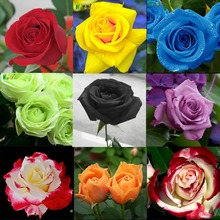 Rare rose seeds home Garden Perennial plant flower seeds Indoor bonsai flowers tree plants garden supplie flowers
