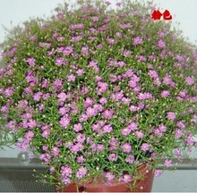 Plant Virgo Annual Sementes Star Seeds More Than The Color Race 50 Ornamental Flowers Garden Plant 100 Seeds