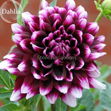 Rare Dark Purple Dahlia Flower with white edge, 50 Seeds, balcony garden plant attractive butterfly light up environment E3632