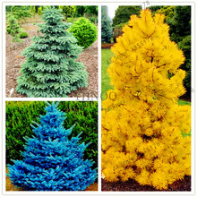 50pcs/bag Yellow/Blue/green Spruce Seeds Tree Seeds Rare Evergreen Colorado Flower Pot Planters For Home Garden(China)