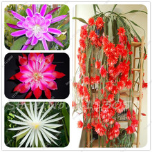 100PCS Epiphyllum Flower Seeds Bonsai Rare Orchid Cactus Seeds Home Garden Decoration Plant Free Shipping(China)