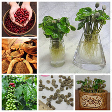 Balcony pot Coffee Beans seeds, 100% true coffee seeds, 20 pcs / bag Bonsai Planting DIY Home Garden Free Shipping