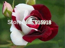 Flower seeds 200Pcs jade gemstone rose bush flower seeds 400 seeds, potted plants(China)