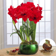 Buy 2 Pcs/Bag True Red Hippeastrum Rutilum Bulbs Bonsai Flower Plant Seeds Potted Bonsai Rare Flower Seeds Garden. (Not Seeds ) for $1.38 in AliExpress store