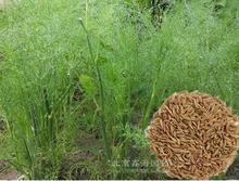 Vegetable seeds  Cumin seeds herbs spices - curry powder, chili powder produced 30 wild fennel