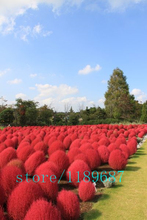 1000pcs kochia scoparia,kochia seeds,Grass Burning Bush,Grass seeds Perennial, Four Season Sowing Rare plants for home garden