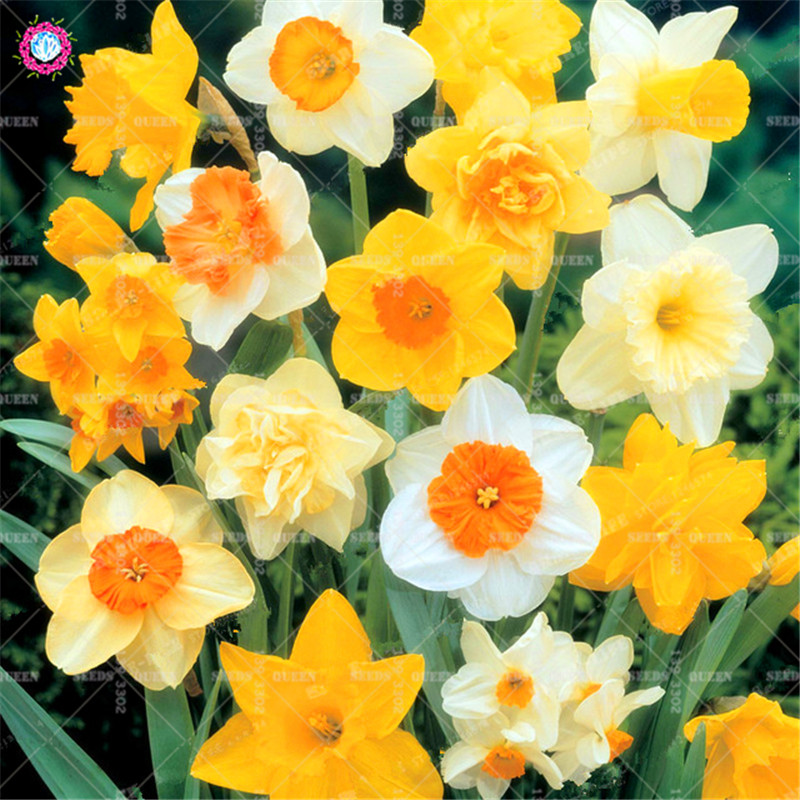 Best-Selling-Beautiful-Narcissus-Flower-Balcony-Plants-Daffodil-Seeds-Absorption-Radiation-Narcissus-Tazetta-Seeds-100-PCS.jpg_640x640 (1)_