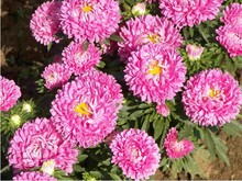 About 200 Seeds/bag Chinese Aster Seeds (Callistephus for garden bright summer big flowers