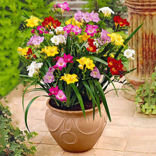 100 seeds Mix Freesias seeds , gorgeous DIY home garden colorful & fragrant flower plant cut flower ,yard, balcony decoration(China)