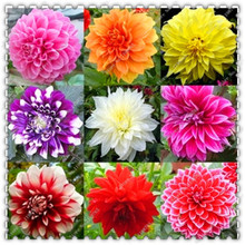 200 Pcs/bag Mixed Colors Dahlias Seeds,potted flower seeds,bonsai plant home garden(China)