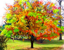 1bag=20 pcs Rare Coulerful Maple Seeds  Bonsai Tree Plants Potted Garden Japanese Maple Seeds