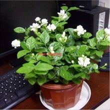 20seeds/bag Jasmine sambac seed indoor plants perennial flower polly gold grass trepied tohum Organic Little Garden watch