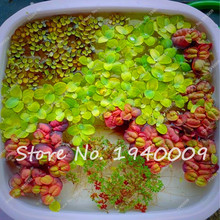 800 Pcs Mini Dwarf aquarium plant seeds Water Grass seeds Aquatic Plants for aquarium fish tank Landscape Ornamental