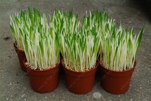 200 pcs/bag Variegated Cat Grass seeds Foliage plant seeds wheat grass mint smell superior cat food for your pet(China)