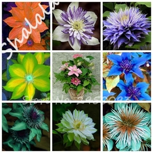 2017 Rare 24 Colored Clematis Seeds Real Rare Clematis (Not Bulbs ) Plant Outdoor Plant Natural Growth Bonsai Home Garden 10 Pcs(China)