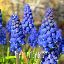 100 Seeds A Pack Lowest Price!Blue Violet Purple Grape Hyacinth flower Seeds Garden decoration leader Potted plant seeds(China)