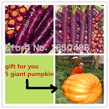 Hot Sale! 500 pcs/ bag purple carrot seeds vegetable + 5 giant pumpkin seeds as gift, Sementes potted plant, garden supplies(China)