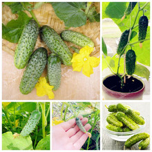 100 Pcs Mini Cucumber Vegetable Seeds For Organic Food Garden Green Vegetable Seeds Rare Cucumber Bonsai Ornamental Plants