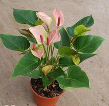 Big sale 100/bag Rare Flower Seeds Anthurium Andraeanu Seeds Balcony Potted Plant Anthurium Flower Seeds for DIY Home Garden