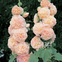 20Mixed Colors HOLLYHOCK COUNTRY ROMANCE MIX Alcea Rosea Flower Seeds~easy to gr(China)