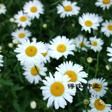 Flower Grass Of Daisy Seeds White Balconies Garden Potted Perennials Plants 100 Seeds