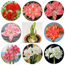 Buy Hot Sale 4 Pcs Amaryllis Bulb,Bonsai Flower Rhizome Hippeastrum Flowers Exotic Plant (Not Barbados Lily Seed) Potted Home Garden for $2.70 in AliExpress store