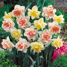 100 Pcs/pack Narcissus Flower Seeds Daffodil Seed Bonsai Plants Double Petals Absorption Radiation Potted DIY Home Garden Plant(China)