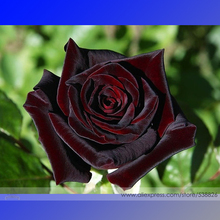 Black Baccara Hybrid Rose Shrub Flower Seeds, Professional Pack, 50 Seeds / Pack, Fresh Exotic True Blood Rose Flower #NF763