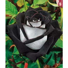 10 Seeds China Rare Black+White Rose Flower seeds