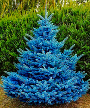 30 rare Colorado blue spruce seeds PICEA PUNGENS GLAUCA good for growing in pots, Excellentas a Christmas Tree seed for home
