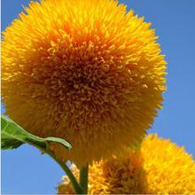 15 Seeds Teddy Bear Sunflower Seed Semi Dwarf Helianthus Garden Beautiful Flower Seeds