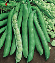 "Broad beans seeds ""(Vicia faba) fava bean Organic vegetable seeds. Outdoor plant Sweet Tasty Salads and Stir Fry10seeds/bag(China)"