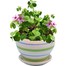 100seeds Potted Flowers Four leaf lucky Clover Grass Seeds Balcony Bonsai Plant For Garden & Home Easy to grow