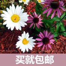 Pyrethrum flower seed free shipping flower flowers Seasons broadcast potted plants easy to plant indoor balcony meaty 20 seeds