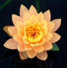 FREE SHIPPING 20 Citrine Orange Lotus  Water Lily Flower Seeds Aquatic Plants  flower seeds for DIY  home garden pond etc