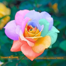 Very Rare Rainbow Rose Seeds, 100 Seeds/Pack, Four Seasons Sowing The Seeds Of Perennial Flowers, Rainbow Rose Easy To Plant