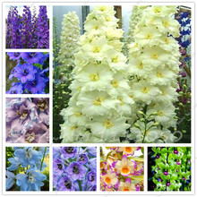 60Pcs Dendrobium Seeds Japanese Rhynchostylis Rare Phalaenopsis Orchid-seedlings Garden & Home Planting Indoor Plant Flower Seed(China)