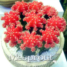 Best-Selling! Mini Cactus Red Peony Seed (Red Peony) Succulents Plants Seeds DIY home garden Rare flower Flores 100PCS