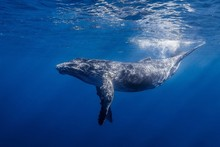 HOT Humpback Whale Marine Ocean Animal Poster Fabric Silk Poster Print Great Pictures On The Wall For Gift