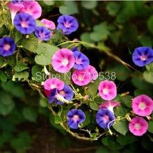 Beautiful morning glory seeds, a variety of mixed color, suitable for garden balcony planting seeds, 20 seeds free postage